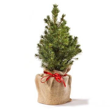 Bureau kerstboom in jute zakje